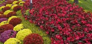 Begonia benariensis Big Red with Bronze Leaf (Benary). Очень мелкие! Необычную серию бегонии весь сезон украшают крупные (до 8 см) цветки.