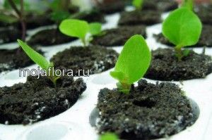 Бегония выращивание из семян