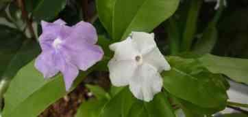 Брунфельсия. Brunfelsia. Брунфельсия южная ( Brunfelsia australis ) - Вечнозеленый кустарник до 60см высотой.