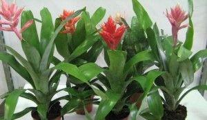Цветок эхмея уход в домашних условиях