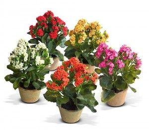 Цветок каланхоэ — уход и размножение