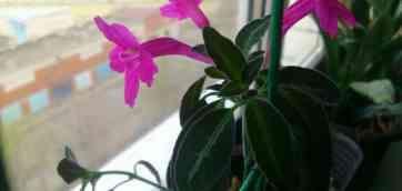 Скачивайте 123 Ruellia Стоковые Фото Бесплатно или по цене от $0.20USD. Цветок Ruellia на солнечности. Фиолетовое squarrosa ruellia.