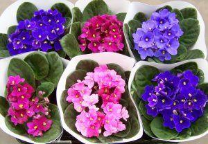 Цветы фиалки уход