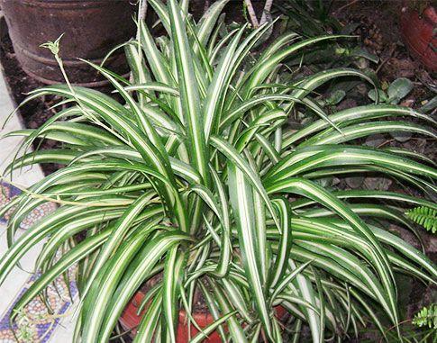 Домашние растения, очищающие воздух. Фитонциды растений