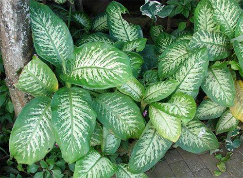 Растения, очищающие воздух - диффенбахия