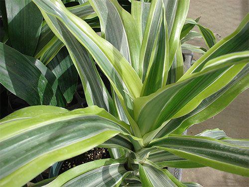 Растения, очищающие воздух - драцена