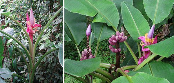 Виды домашнего банана, бархатный и розовый