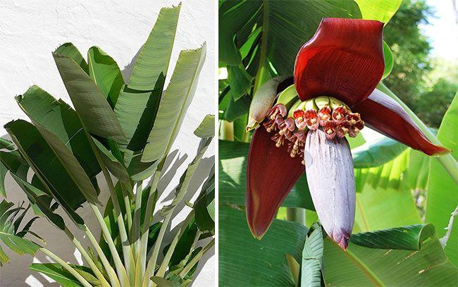 Комнатный банан, листья и цветы