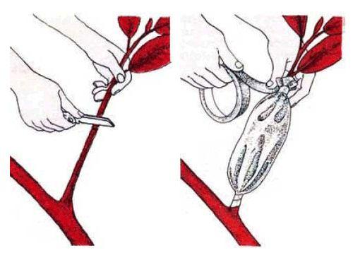 как проводится размножение драцены верхушечными черенками