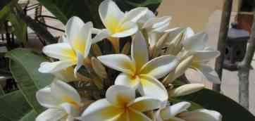 Описание,фото,уход за Фикусом.Выращивание, посадка, все о Ficus Benjamina Variegata - Фикус Бенджамина Вариегата.