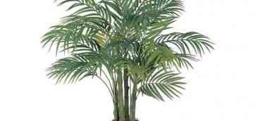 Финик пальчатый, или финиковая пальма (Phoenix dactylifera), имеет Комнатная пальма драцена (31709). Цветы розы садовые: фото, названия и агротехника (30976).