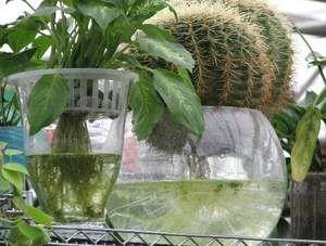 Выращивание кактуса на гидропоне