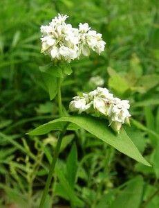 Гречиха посевная и ее лечебные свойства