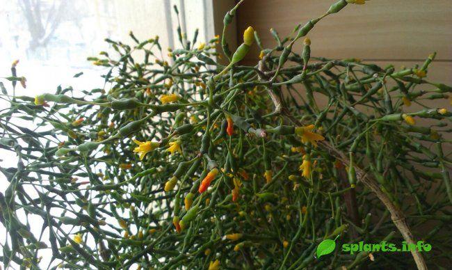 Хатиора: выращиваем кактус танцующих костей