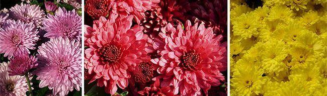 Красные, желтые и розовые сорта