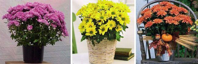 Хризантема в горшке, в плетеном кашпо