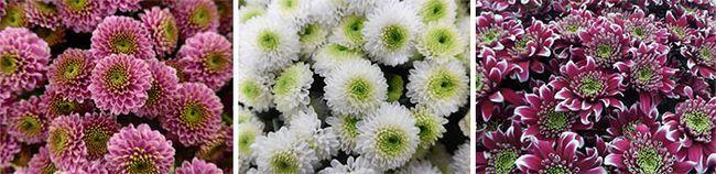 Белые и бордовые цветы
