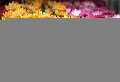 Хризантемы индийские растут в закрытом грунте