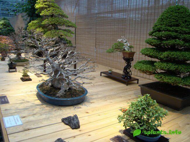 Искусство бонсай - выращиваем в домашних условиях