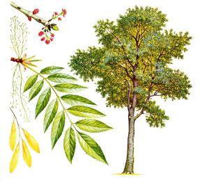 Ясень обыкновенный: свойства, описание и фото