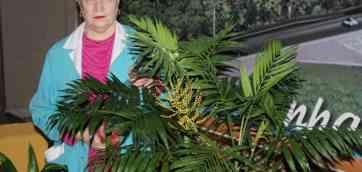 Вот так цветет хамедорея изящная. Фото пальмы хамедореи — 9. Хамедорея елеганс — Chamaedorea elegans. Растение из семейства пальмовых.