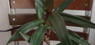 Gerbera jamesoni Семейство Астровые (Astraceae). Листья у герберы не вялые, судя по фото. Цветонос сам по себе очень нестойкий, падает.