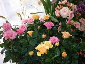 komnatnie rozki 300x225 Как ухаживать за карликовыми розами