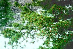кедровая ветка с шишками