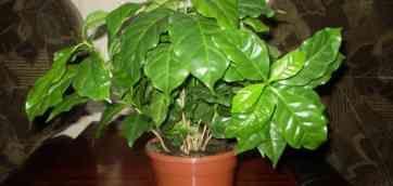 Кофейное дерево вырастить своими руками