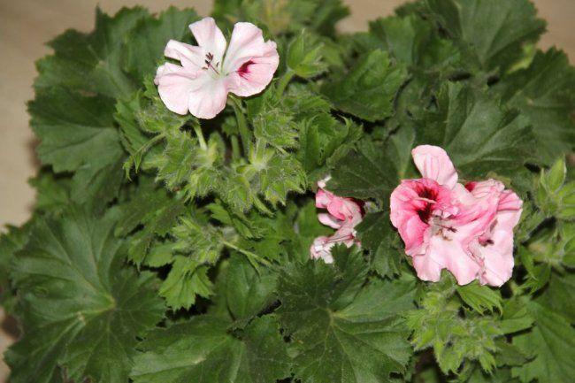 Королевская пеларгония: выращивание и уход