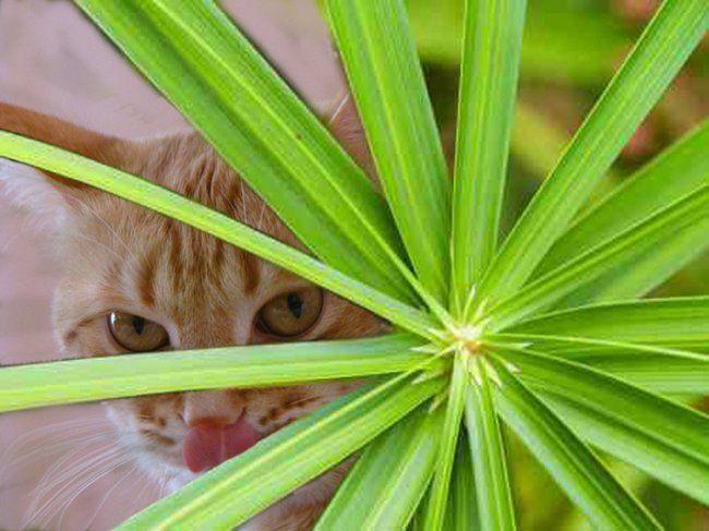 Кот-цветовод: кошачья пальма, или какие комнатные растения безвредны для животных
