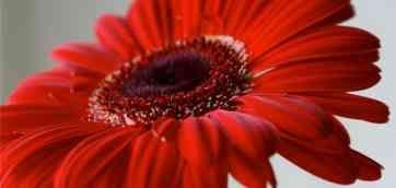 ГЕРБЕРЫ. Значение гербер – радость и удача. Красные герберы дарят мужчинам, нежно-розовые – девушкам и женщинам.17 июля 2013