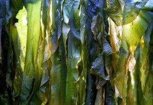 Ламинария (морская капуста) — польза и вред