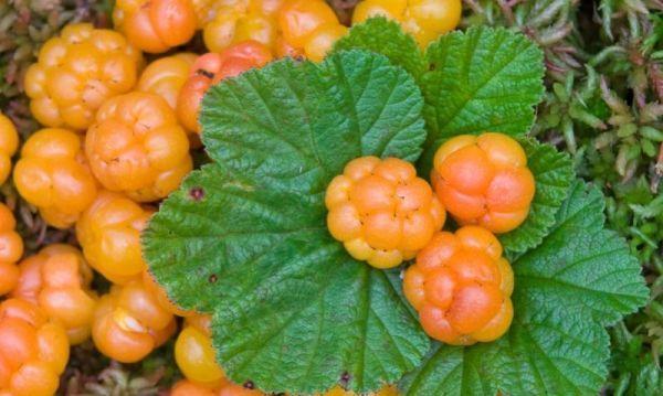 Морошка полезные свойства северной ягоды