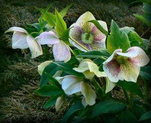 белые цветы морозника.