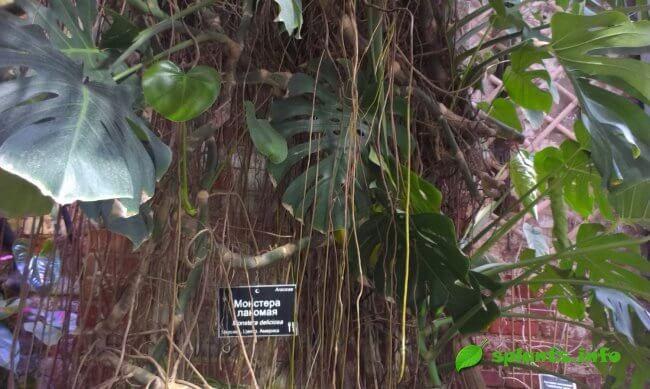 Непревзойденное растение монстера: уход, описание и прочее