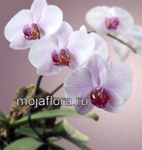 Орхидеи – уход в домашних условиях