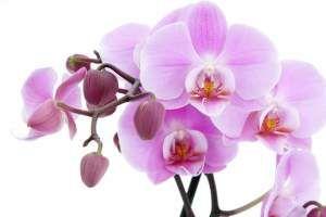 Орхидеи уход заболевания