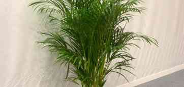 Арека (Хризалидокарпус). Легкая, как бабочка. Кустовидная пальма из рода Chrysalidocarpus lutescens.