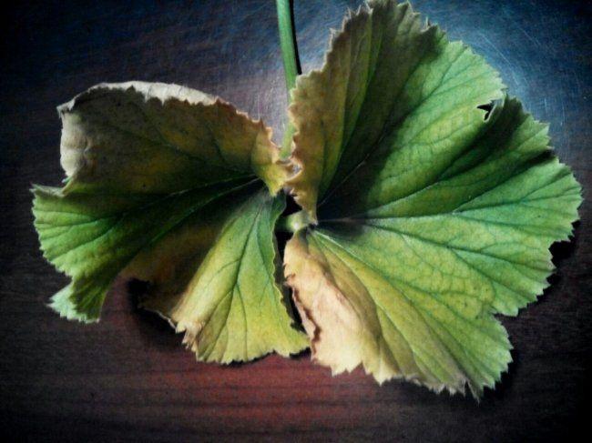 Почему желтеют листья у пеларгонии: причины и лечение