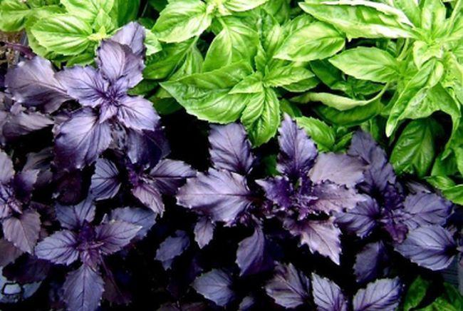 Полезные свойства базилика фиолетового и зеленого