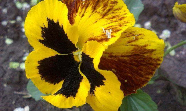 Садовая и комнатная фиалки: учимся различать