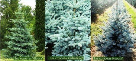 Хвойные деревья