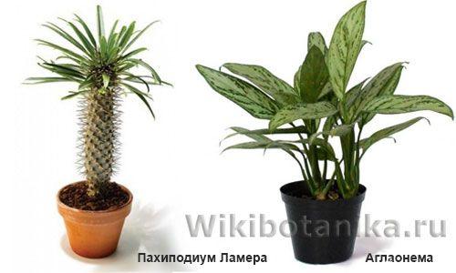 Опасные домашние растения, пахподиум, аглаонема