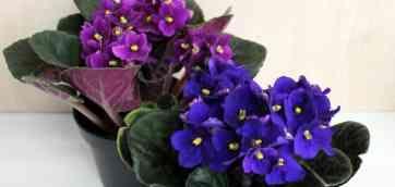 info@gardenia.kiev.ua. Сенполия — saintpaulia Семейство: геснереевые. Родина: Африка Цветение: почти круглый год Рост: быстро, розетки от 7 см до 40 см в
