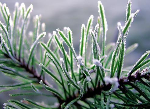 сосновая шишка в снегу