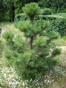 деревце сосны_молодняк