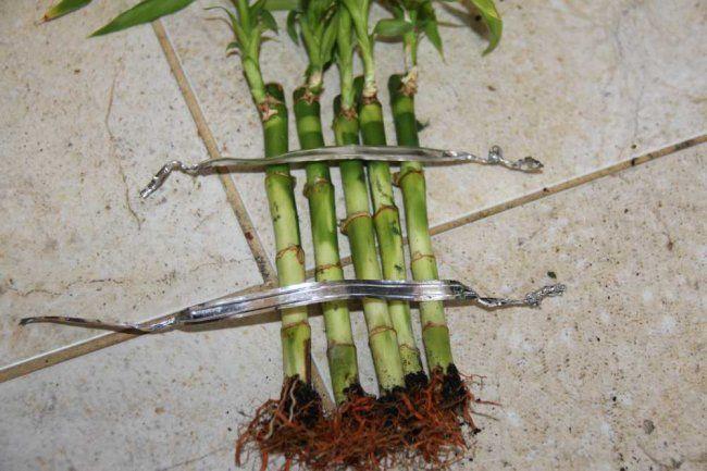 Строим заборчик: как придать форму комнатному бамбуку