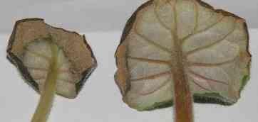 Диагностика болезней сенполий. Род Saintpaulia hybrida — Сенполия гибридная. Симптомы и внешние признаки заболевания сенполий.