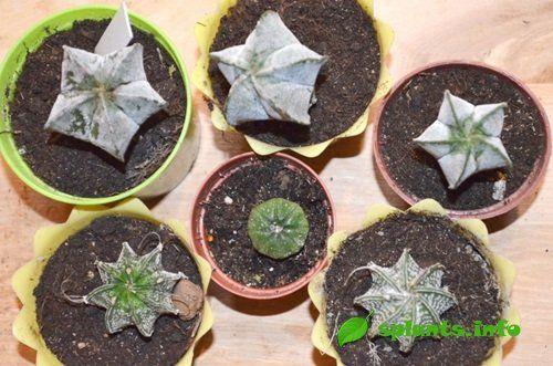 Звездчатые кактусы: астрофитум в доме